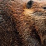 Сокращение численности бобров в Калиниградской области