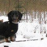 Как правильно осуществлять притравку норных собак по крысе и лисе на земле и в норах